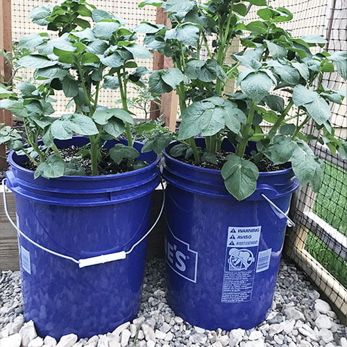 potato container